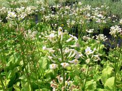 Prvosenka japonská 'Alba' - Primula japonica 'Alba'