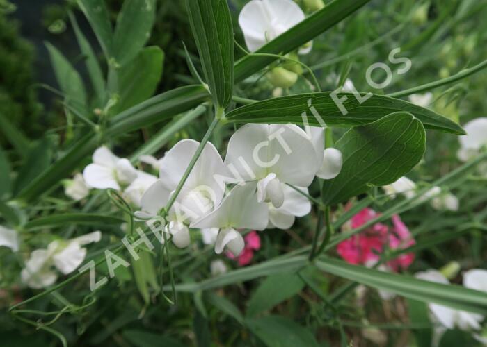 Hrachor širokolistý 'Weiß' - Lathyrus latifolius 'Weiß'