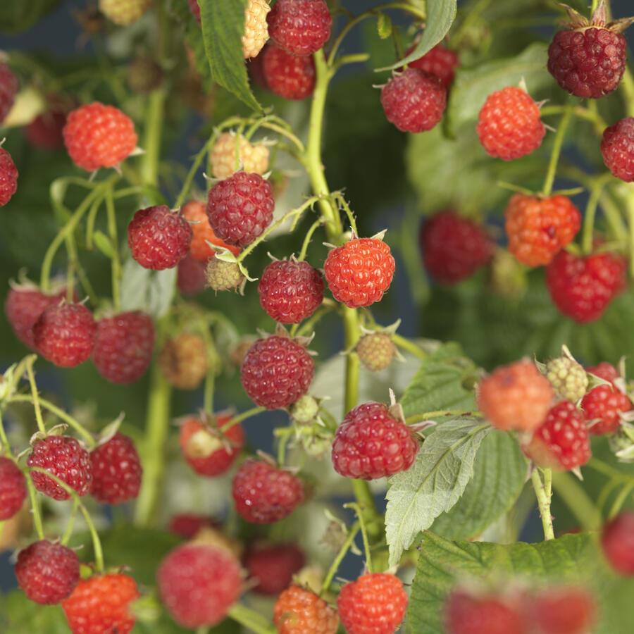 Maliník remontantní 'Autumn Bliss' - Rubus idaeus 'Autumn Bliss'