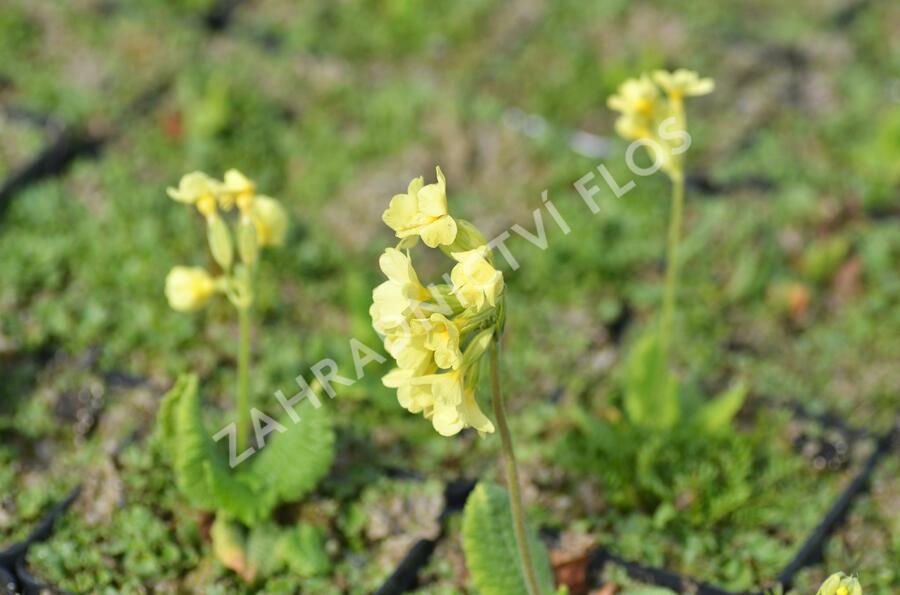 Prvosenka vyšší 'Wildform' - Primula elatior 'Wildform'