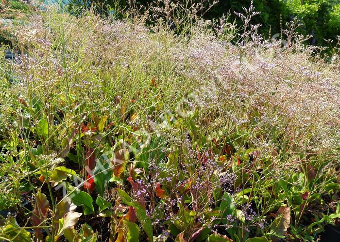 Statice širokolistá - Limonium latifolium
