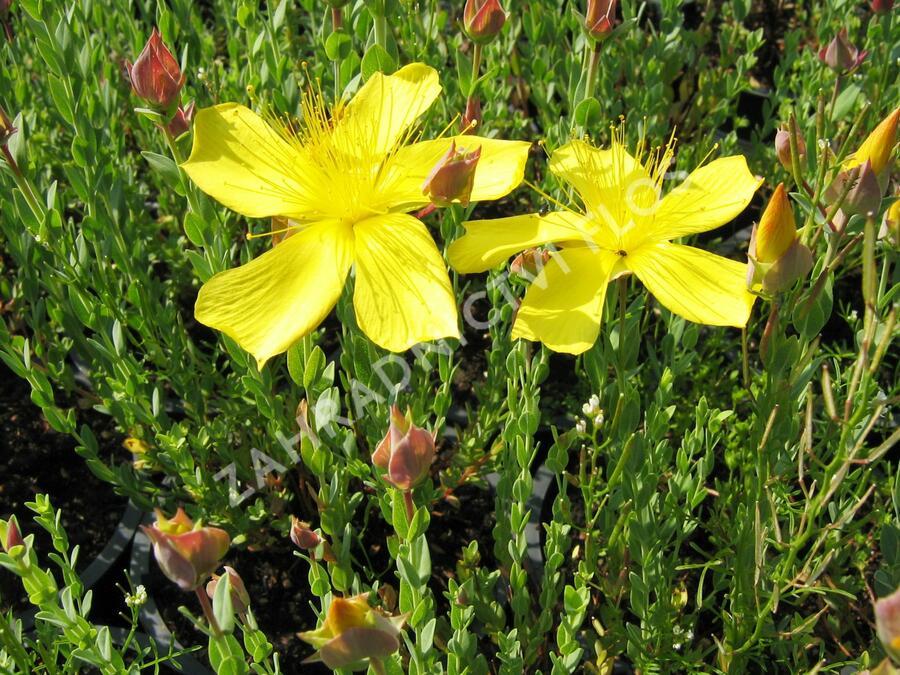 Třezalka malolistá 'Grandiflorum' - Hypericum polyphyllum 'Grandiflorum'