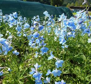 Ostrožka 'Cliveden Beauty' - Delphinium belladonna 'Cliveden Beauty'
