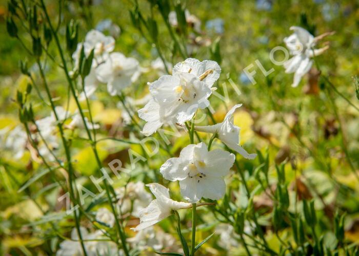 Ostrožka 'Casa Blanca' - Delphinium belladonna 'Casa Blanca'