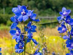 Ostrožka 'Bellamosum' - Delphinium belladonna 'Bellamosum'