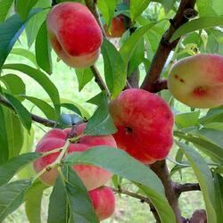 Broskvoň - raná 'Pan Tao' - Prunus persica 'Pan Tao'