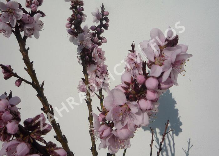 Nektarinka zakrslá 'Balkonella Red' - Prunus persica 'Balkonella Red'