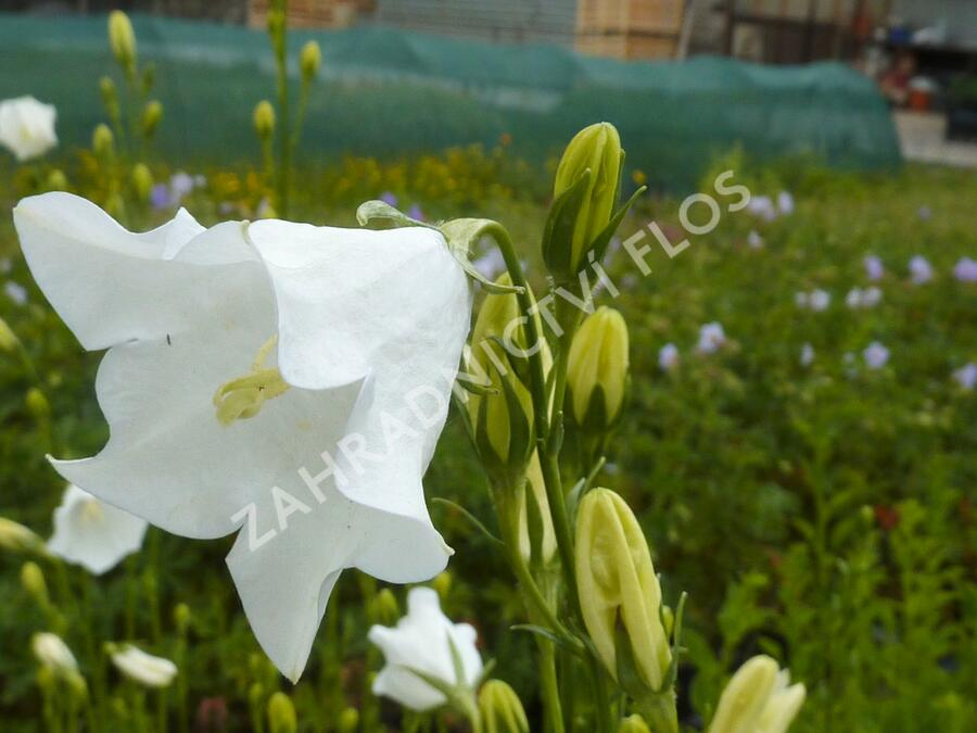 Zvonek broskvolistý 'Grandiflora Alba' - Campanula persicifolia 'Grandiflora Alba'