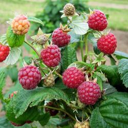 Maliník jednouplodící 'Zeva' - Rubus idaeus 'Zeva'