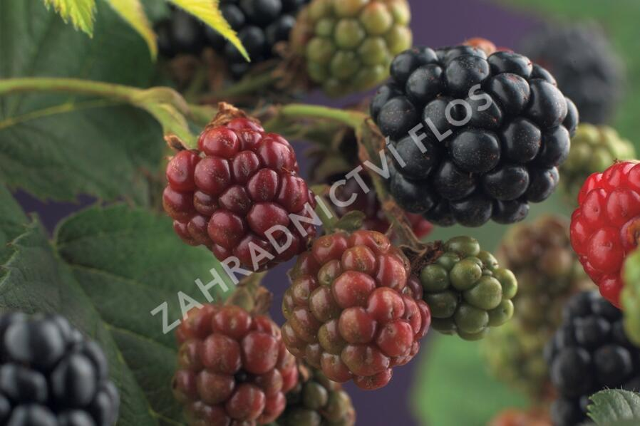Ostružiník beztrnný 'Thornfree' - Rubus fruticosus 'Thornfree'