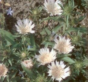 Stokesie 'Alba' - Stokesia laevis 'Alba'