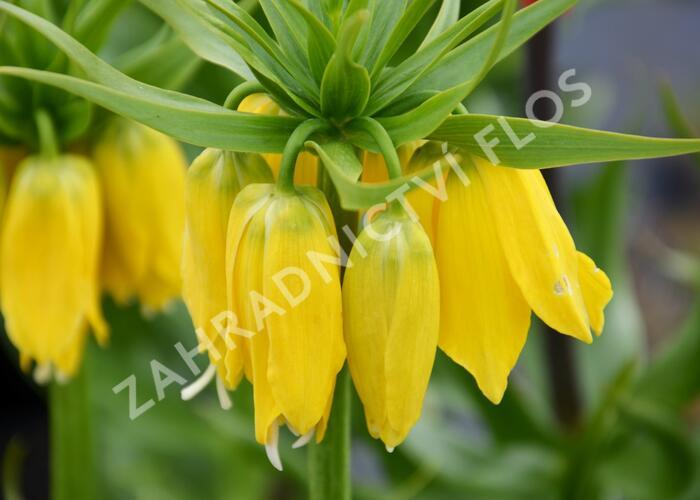 Řebčík královský 'Maxima Lutea' - Fritillaria imperialis 'Maxima Lutea'