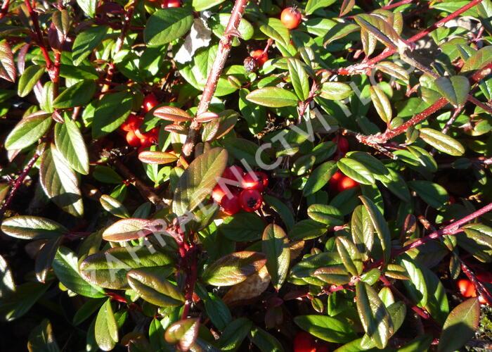 Skalník vrbolistý 'Parkteppich' - Cotoneaster salicifolius 'Parkteppich'