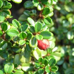 Skalník drobnolistý 'Streib's Findling' - Cotoneaster microphyllus 'Streib's Findling'