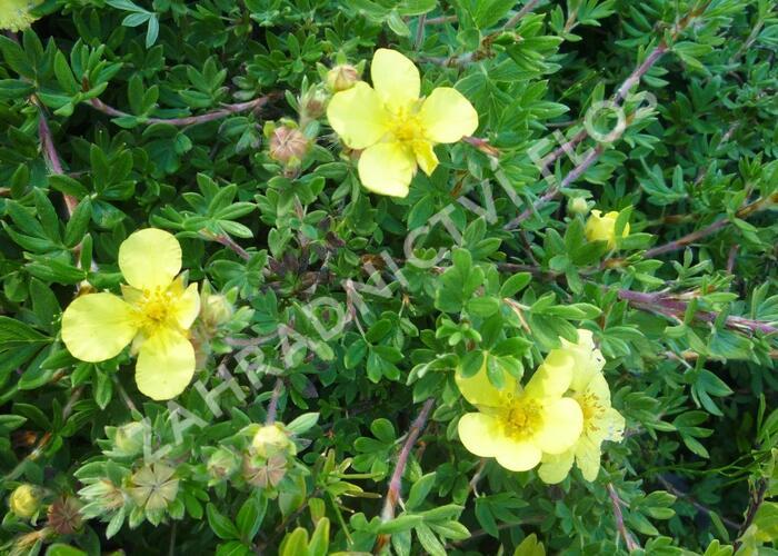 Mochna křovitá 'Elizabeth' - Potentilla fruticosa 'Elizabeth'