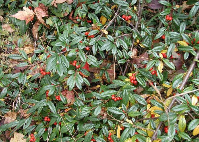 Skalník vrbolistý 'Sympathie' - Cotoneaster salicifolius 'Sympathie'