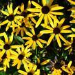 Třapatka zářivá 'Little Goldstar' - Rudbeckia fulgida 'Little Goldstar'