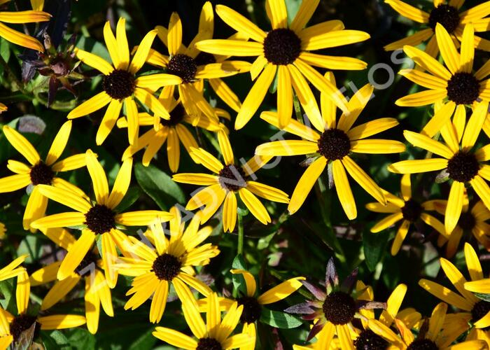 Třapatka zářivá 'Little Goldstar' - Rudbeckia fulgida 'Little Goldstar'