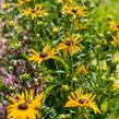 Třapatka zářivá 'City Garden' - Rudbeckia fulgida 'City Garden'