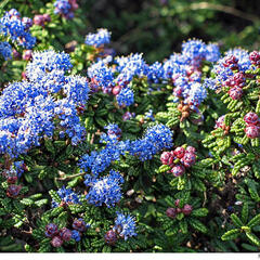 Latnatec 'Emily Brown' - Ceanothus 'Emily Brown'