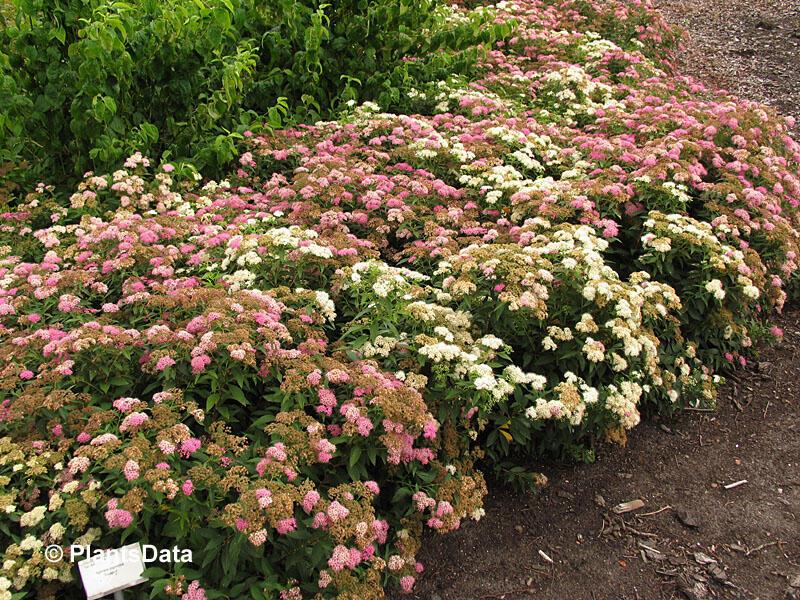 Tavolník japonský 'Genpei' (Shirobana) - Spiraea japonica 'Genpei' (Shirobana)