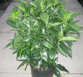 Aukuba japonská - Aucuba japonica
