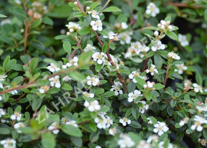 Skalník 'Skogholm' - Cotoneaster x suecicus 'Skogholm'
