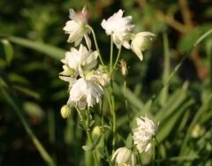 Orlíček obecný 'Clementine White' - Aquilegia vulgaris 'Clementine White'