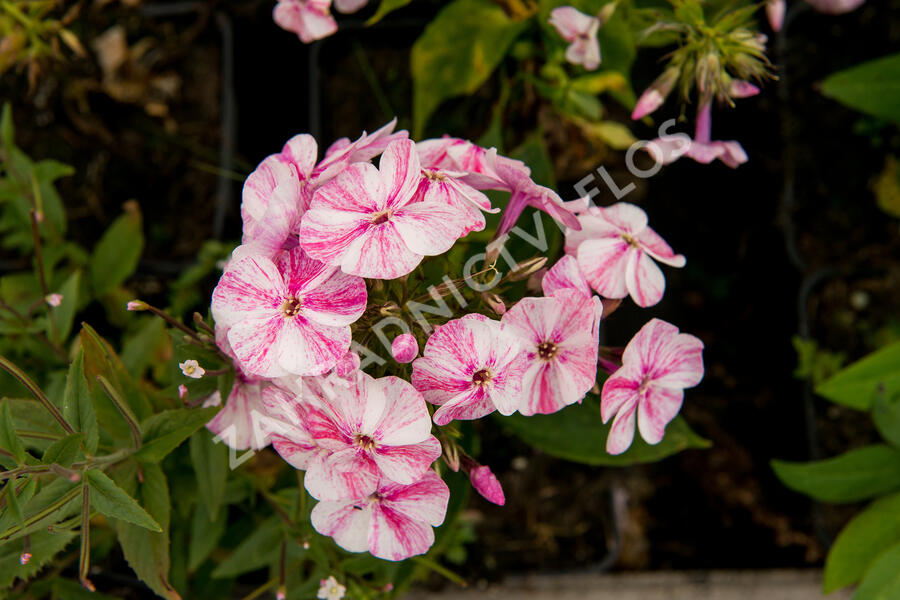 Plamenka latnatá 'Freckle Red Shades' - Phlox paniculata 'Freckle Red Shades'