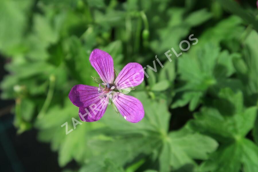 Kakost bahenní  - Geranium palustris