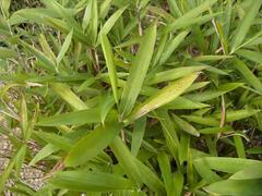 Bambus - Pleioblastus pumilus