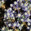 Máčka plocholistá 'Blue Hobbit' - Eryngium planum 'Blue Hobbit'