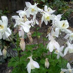 Orlíček obecný 'White Barlow' - Aquilegia vulgaris 'White Barlow'