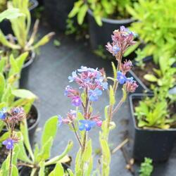 Pilát modrý - Anchusa azurea