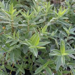 Vrba plazivá - Salix subopposita