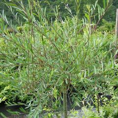 Vrba purpurová 'Pendula' - Salix purpurea 'Pendula'