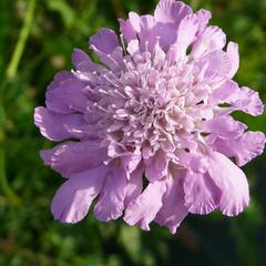 Hlaváč 'Pink Mist' - Scabiosa columbaria 'Pink Mist'