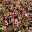 Lomikámen arendsův 'Blütenteppich' - Saxifraga x arendsii 'Blütenteppich'