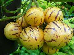 Pepíno 'Pepíno Gold' - Solanum muricatum 'Pepíno Gold'