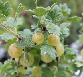 Angrešt zelený 'Hinnonmaki Grün' - Grossularia uva crispa 'Hinnonmaki Grün'