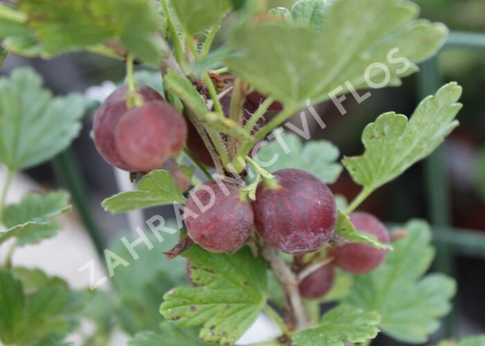 Angrešt červený 'Hinnonmaki Red' - Grossularia uva crispa 'Hinnonmaki Red'