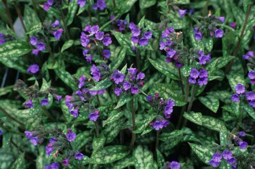 Plicník - Pulmonaria longifolia cevennensis