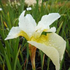 Kosatec sibiřský 'White Swirl' - Iris sibirica 'White Swirl'