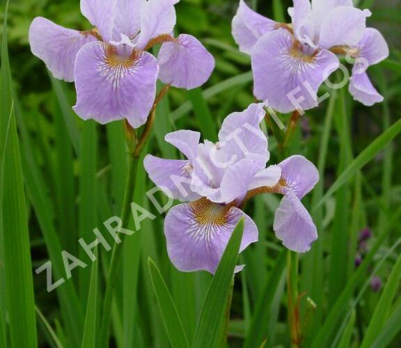 Kosatec sibiřský 'Lavender Bounty' - Iris sibirica 'Lavender Bounty'
