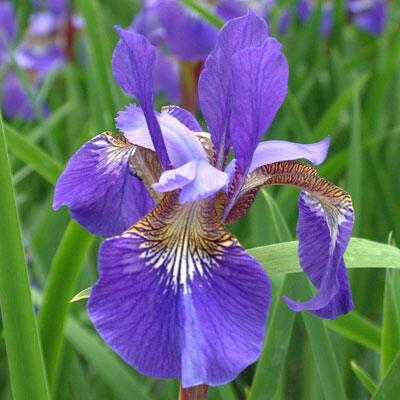 Kosatec sibiřský 'Blue King' - Iris sibirica 'Blue King'