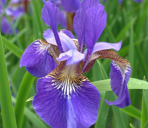 Kosatec sibiřský 'Blue King' - Iris sibirica 'Blue King'