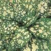 Plicník skvrnitý 'Apple Frost' - Pulmonaria saccharata 'Apple Frost'