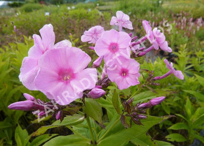 Plamenka latnatá 'Junior Bouquet' - Phlox paniculata 'Junior Bouquet'