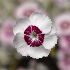 Hvozdík péřitý 'Dixie White Red Bicolor' - Dianthus plumarius 'Dixie White Red Bicolor'
