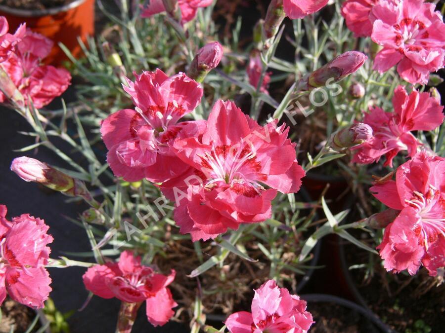 Hvozdík sivý 'Rot' - Dianthus gratianopolitanus 'Rot'